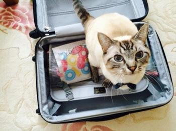 旅行に行きたい猫.jpg